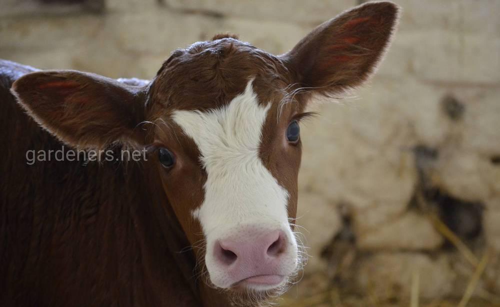 Разновидности коров