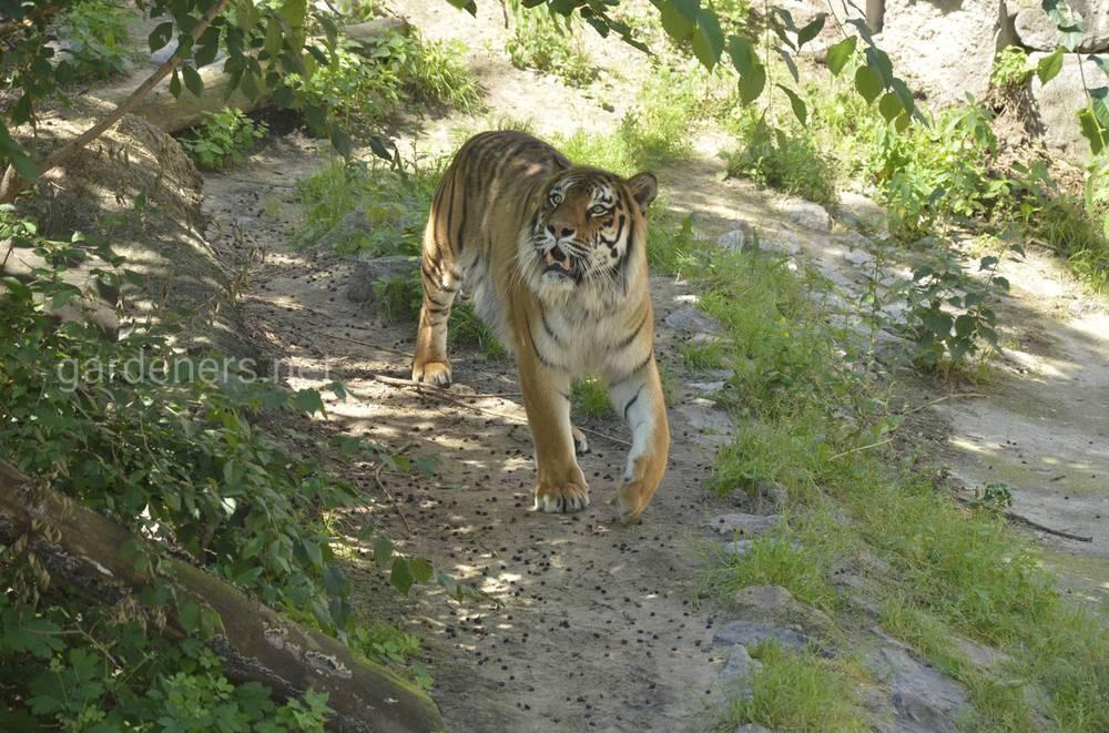8 интересных фактов о тиграх
