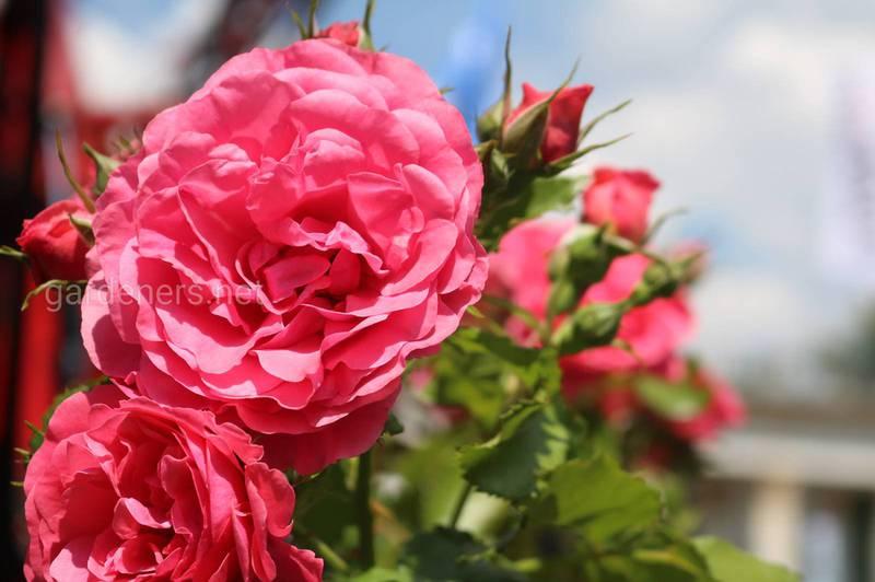 Як використовувати пелюстки троянд? Трояндовий сік та лікер?