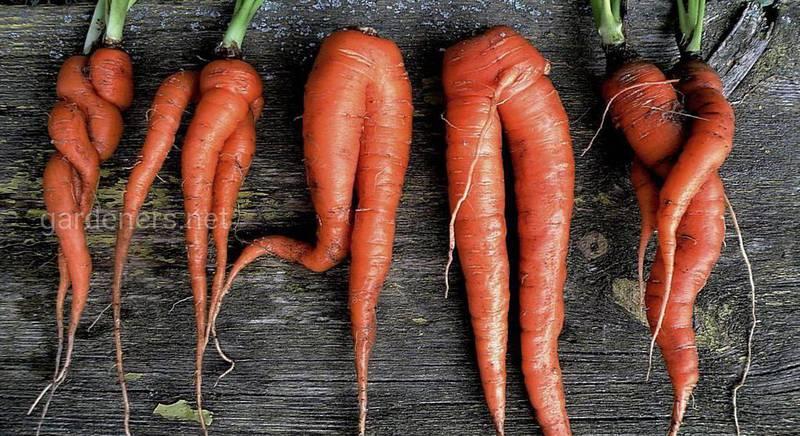 Аномальная морковь: причины корявости корнеплодов и способы избежать подобных сложностей