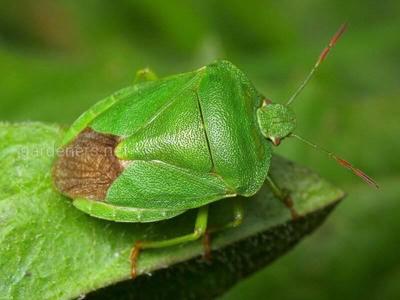 Щитник зелёный древесный
