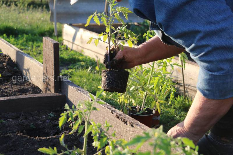 Як вирощувати розсаду томатів в умовах закритого грунту?