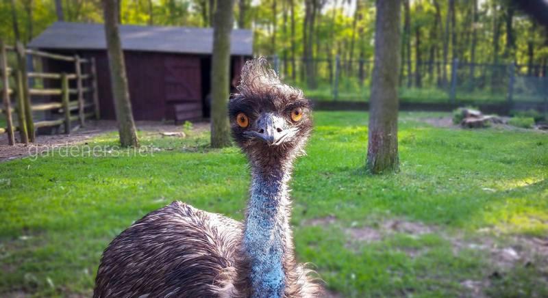 Какие породы страусов подходят для разведения в домашних условиях