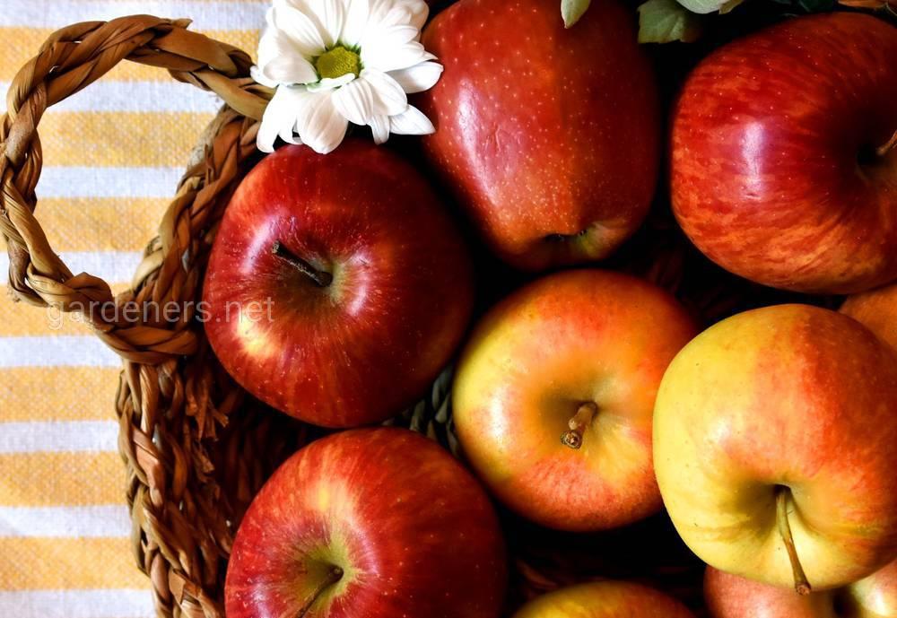 Родные яблоки