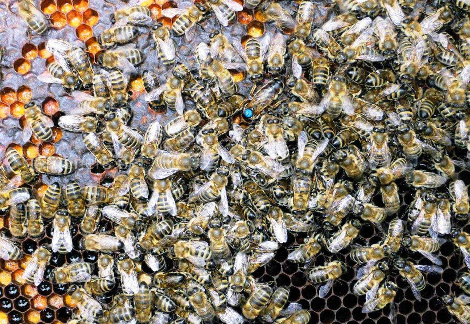 Серые горные кавказские пчелы.jpg