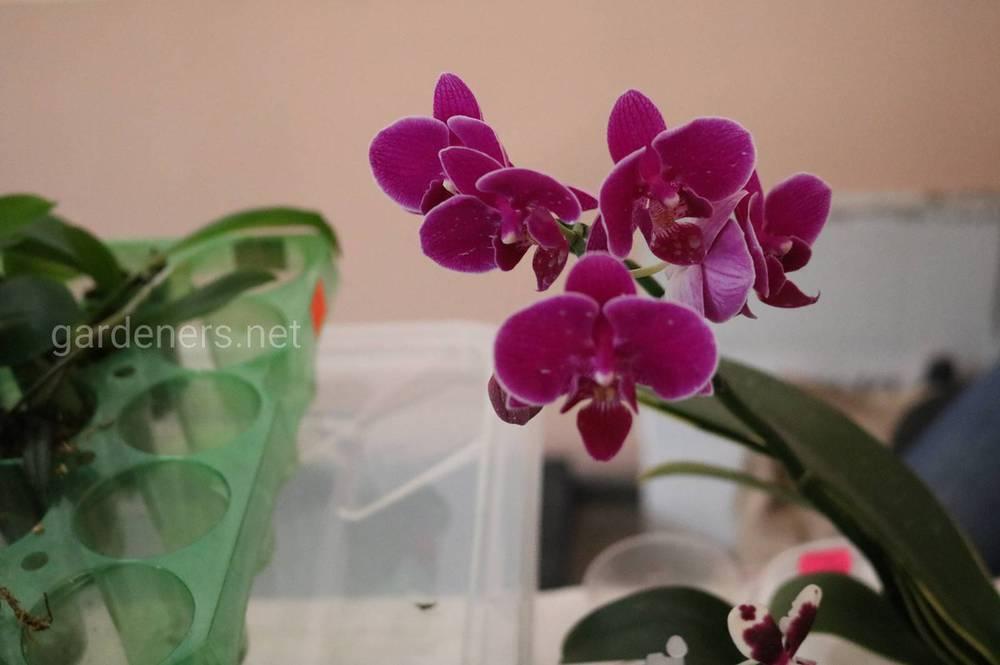 магазин орхидей из Азии и Голландии