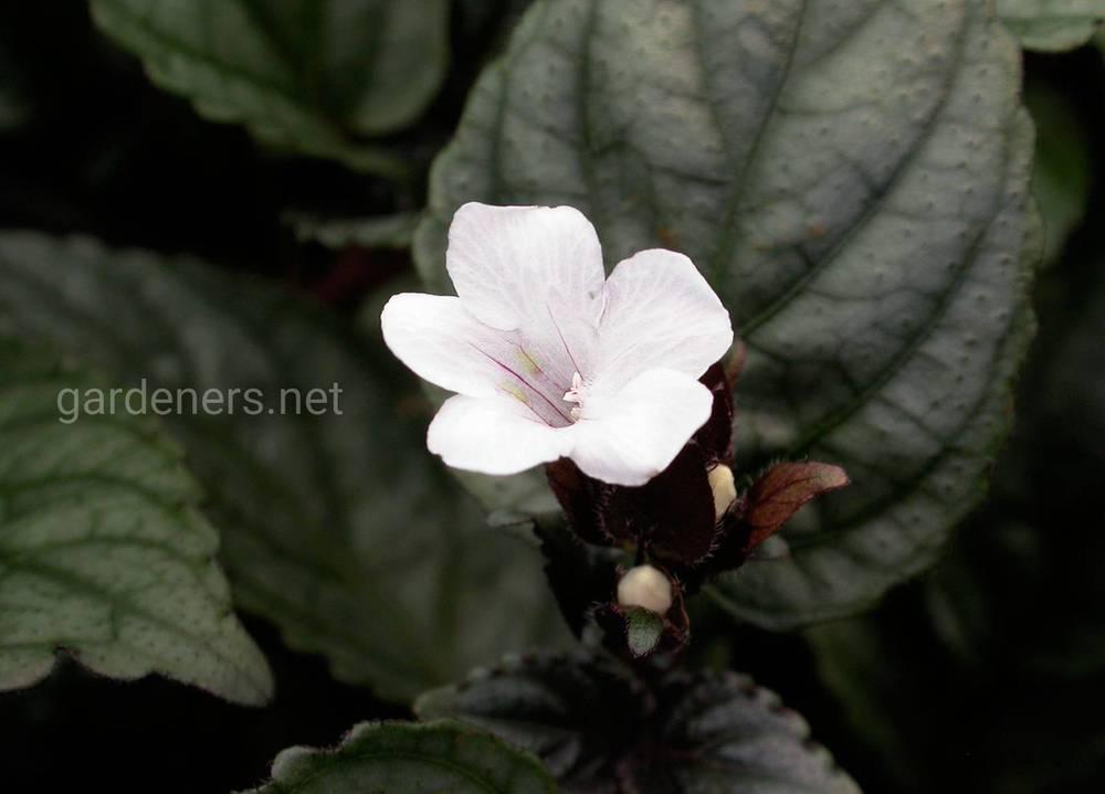 Гемиграфис цветение