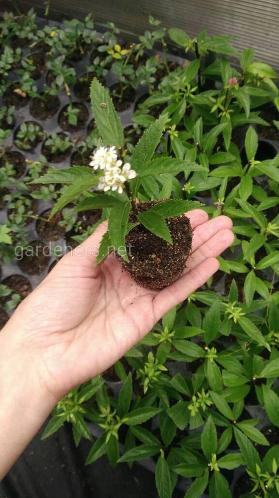 Растения из собственного питомника