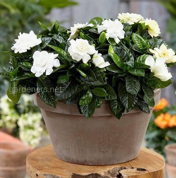 Какие комнатные растения самые ароматные?