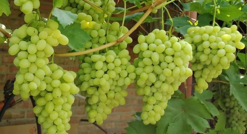 Микоризация винограда