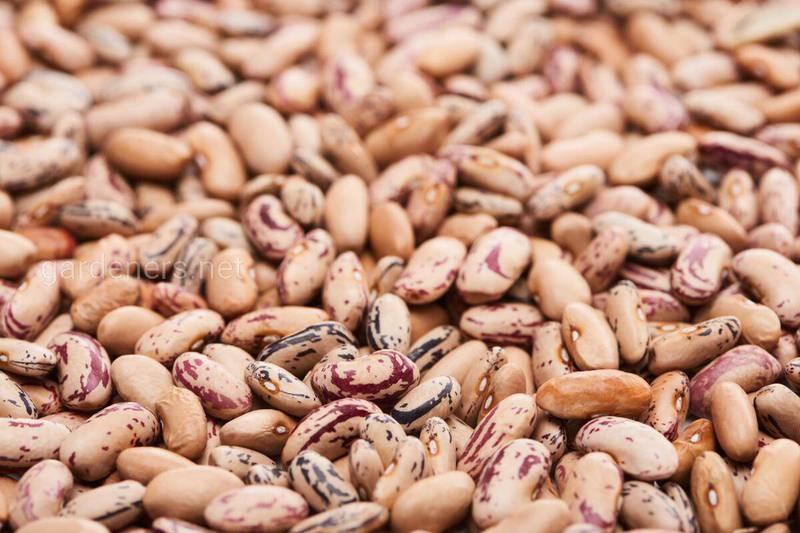 Як захистити збережені боби від нападів квасолевого зерноїда?