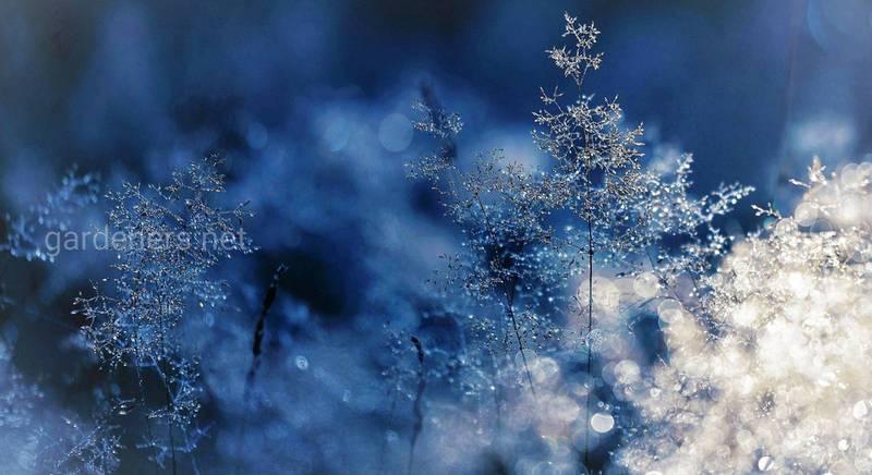 За окном первые заморозки, а снега нет. Что делать с растениями на участке?