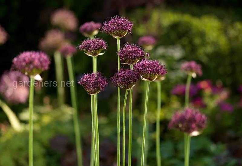 Новый козырь вашего сада - декоративный лук