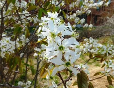 amelanchier-flowers-pamms-photo.jpg