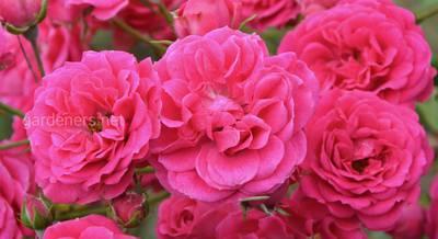 сорта плетистой розы 2019.jpg