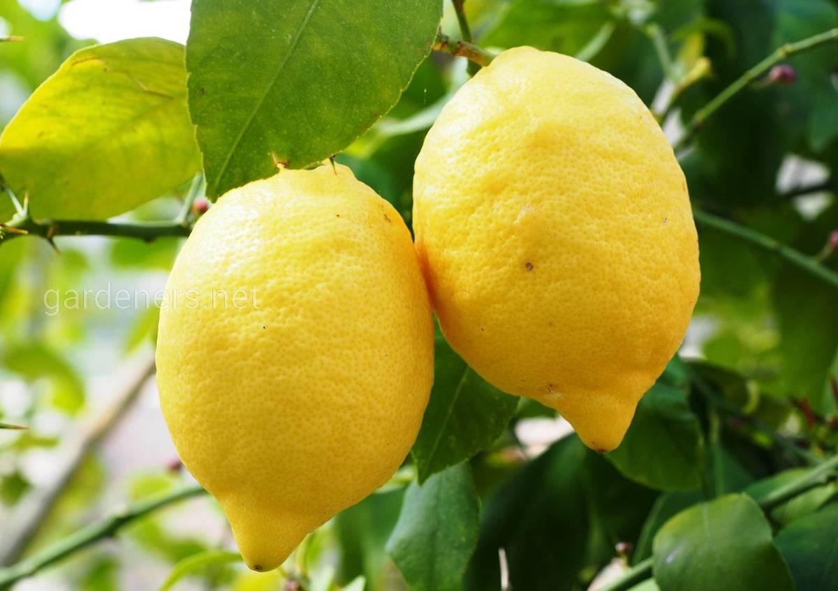 Лимон для кожи и тела