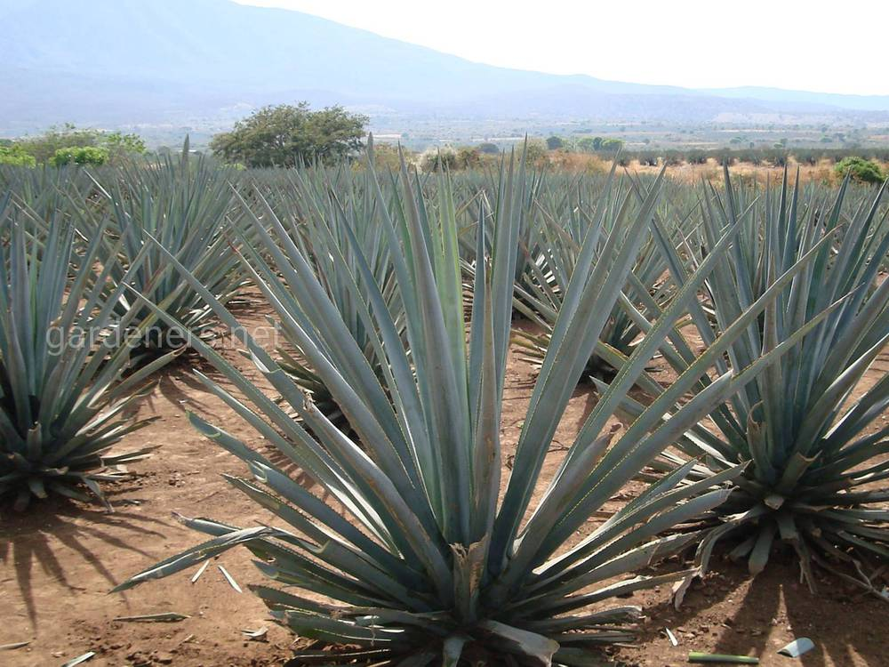 tequilana
