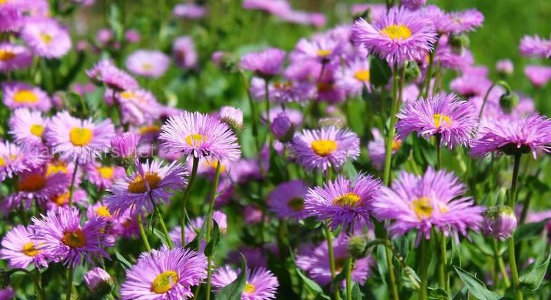 Квіти для вашого саду: Ерігерон!