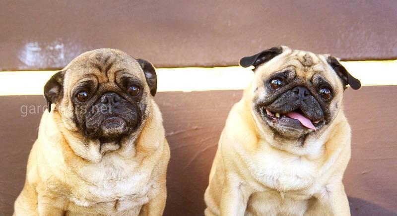 Вибираємо собаку для квартири: опис кращих порід