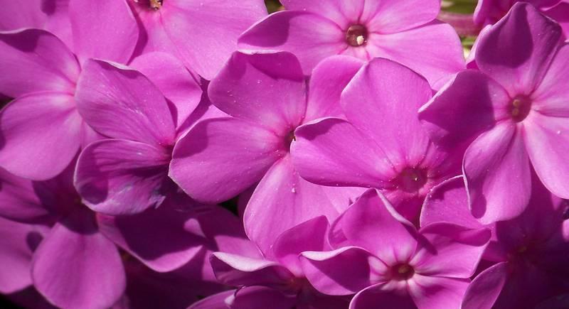 Все про багаторічні квіти. Популярні багаторічники і особливості догляду за ними