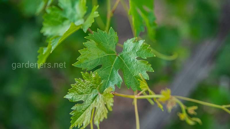 Как выполняется прополка, пасынкование и обламывание побегов винограда?
