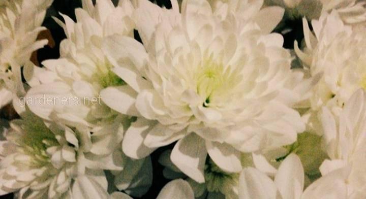 Що загрожує хризантемам