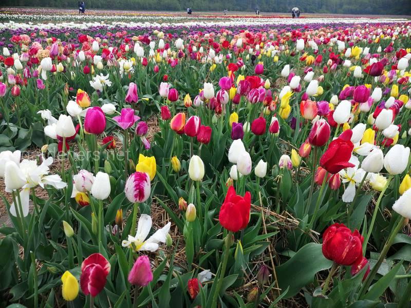 Топ-9 интересных фактов о тюльпанах