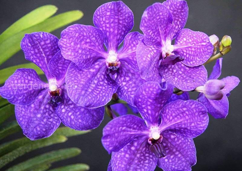 Какие условия необходимы для успешного выращивания орхидеи Ванда?