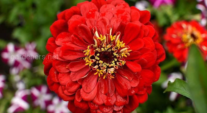 Самые красивые сорта цинний (майоры) для выращивания в саду