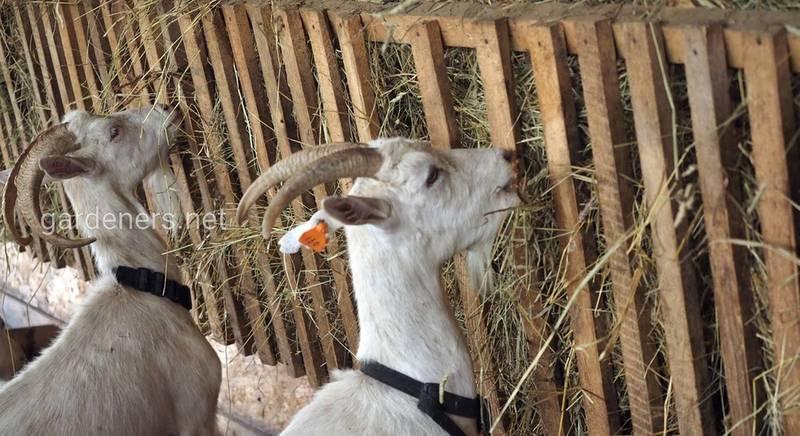 Годівниці для кіз: вимоги, виготовлення своїми руками. Частина 1