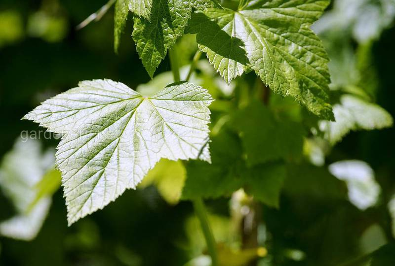 У смородины скручиваются листья в чем причина?