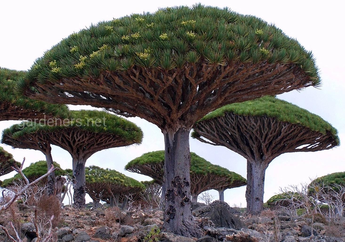 Дерево Драконов