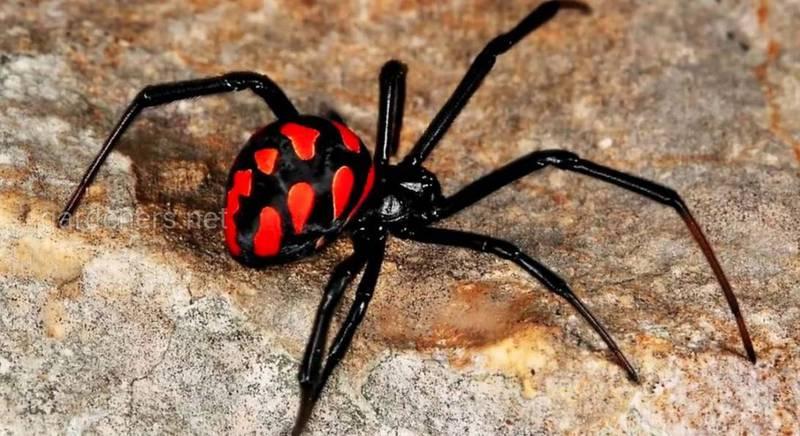 Симптомы укуса паука каракурта