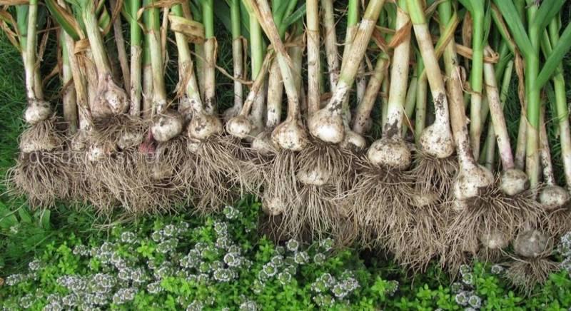 ТОП-7 растений, что высаживают после чеснока