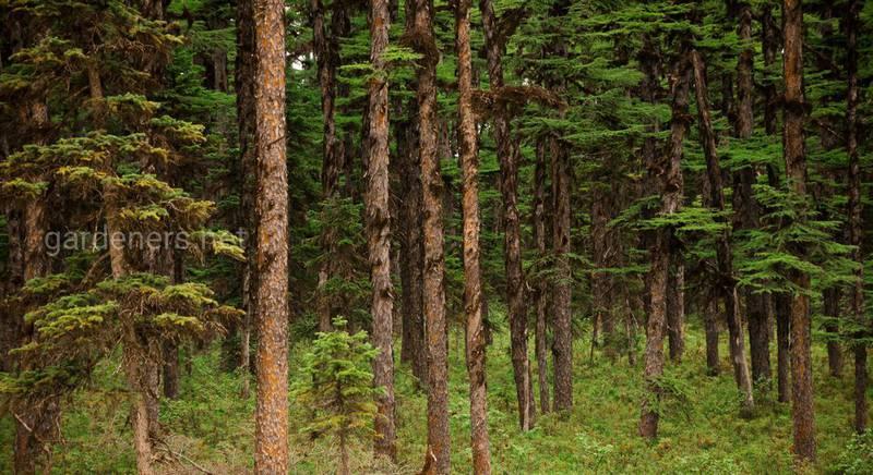10 цікавих фактів про хвойні ліси