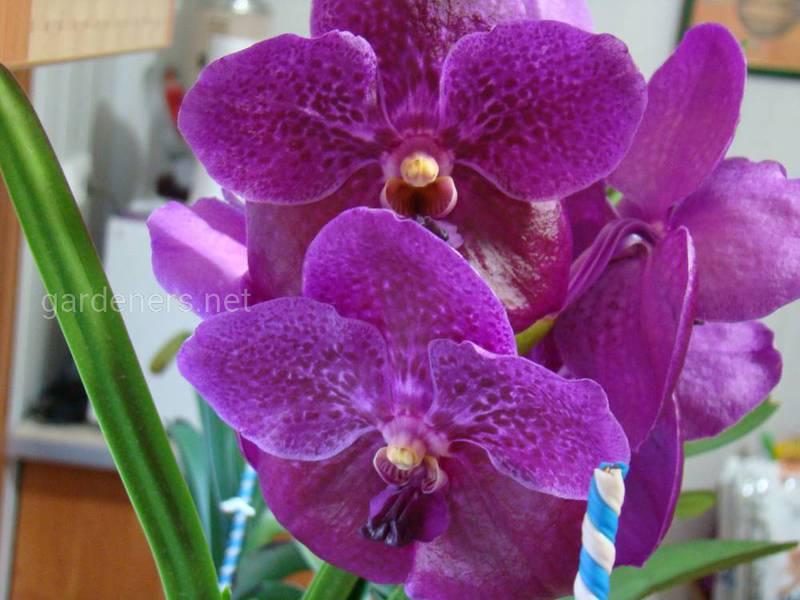 Які умови необхідні для успішного вирощування орхідеї Ванда?