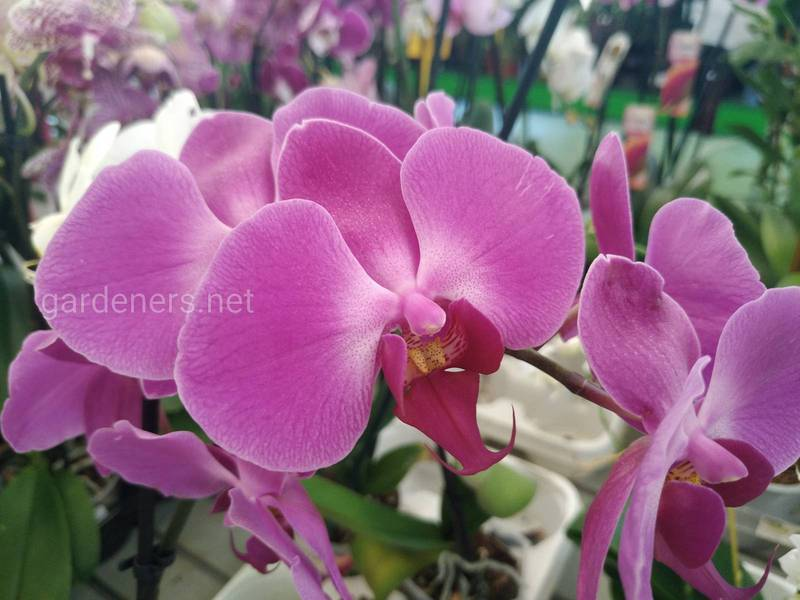 Основні життєві цикли орхідеї