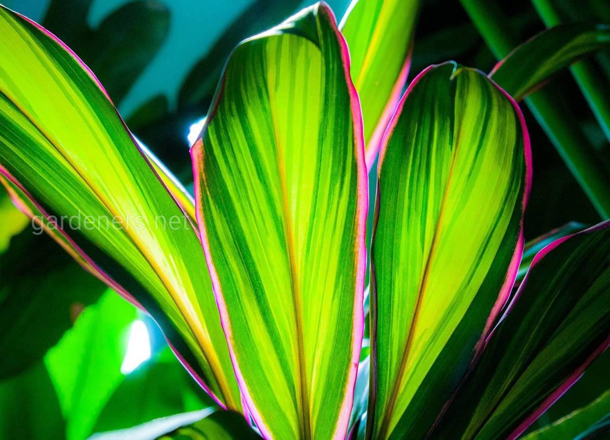 Cordyline fruticosa Kiwi Pride