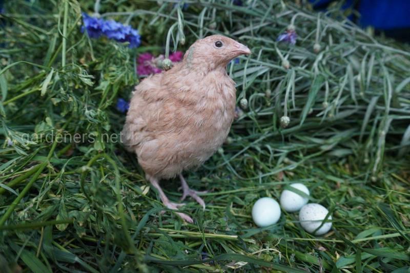 Хочете займатися професійним розведенням домашньої птиці?