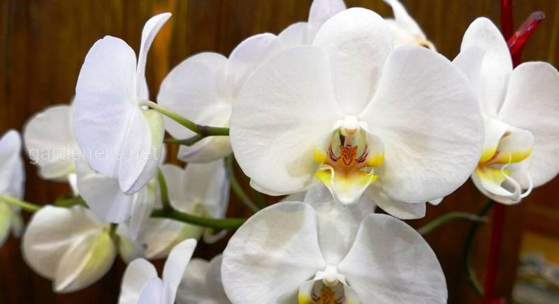 Секреты обильного цветения орхидеи.JPG