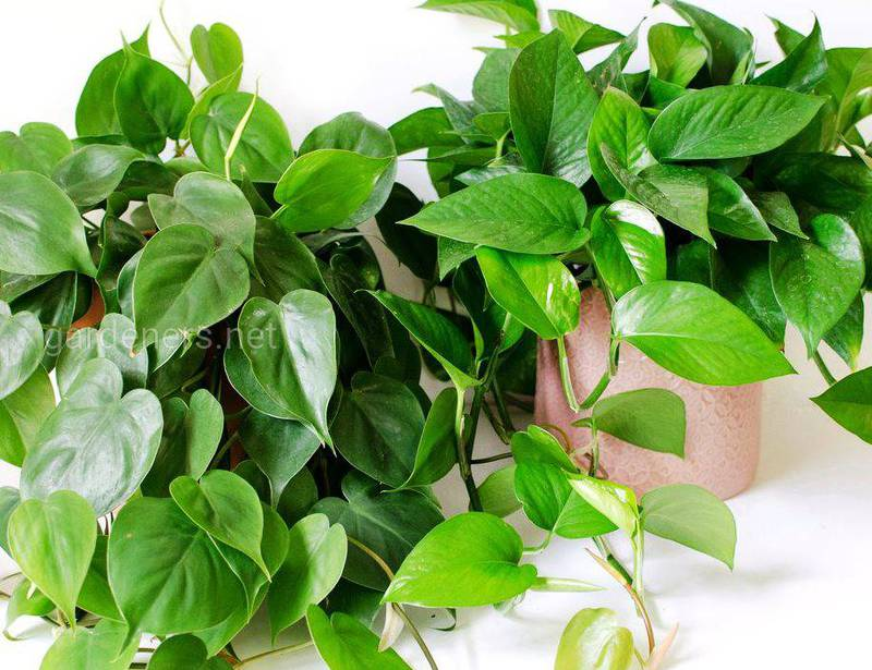 Епіпремнум - рослина, здатна виводити шкідливі токсини з приміщення!