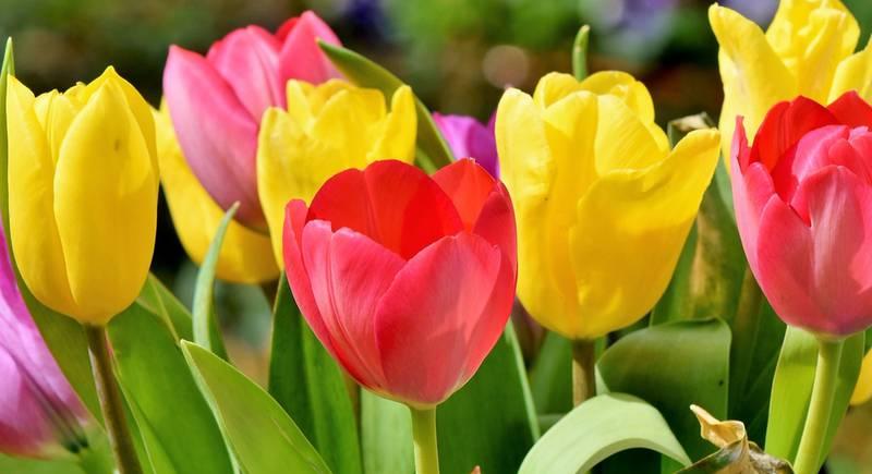 Тюльпан -  символ Голландии
