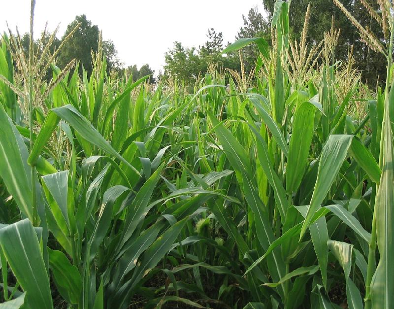 Симптоми пухирчастої головні кукурудзи?