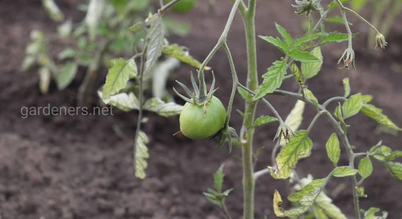 Как спасти переросшую рассаду томатов