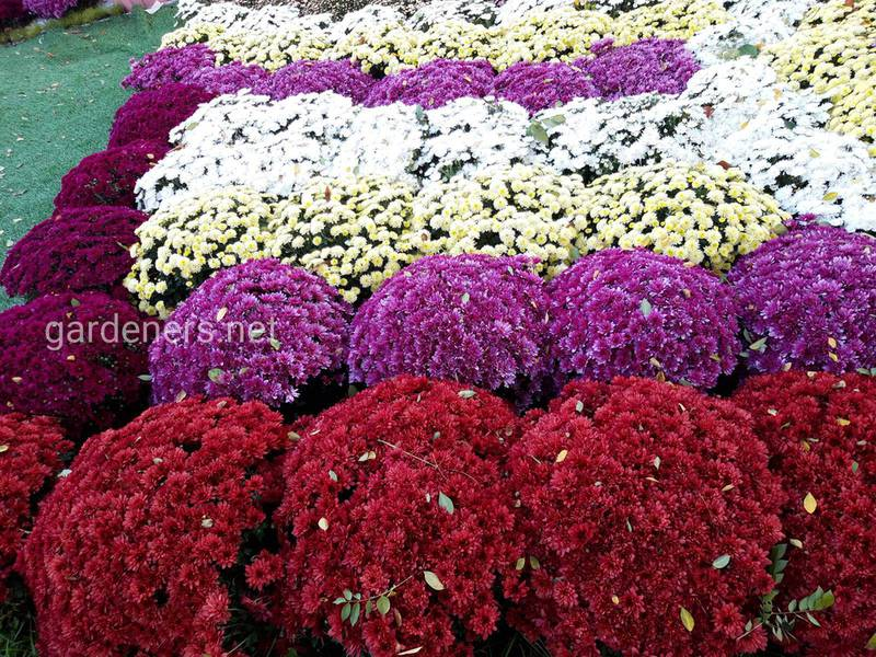 Символическое значение хризантемы