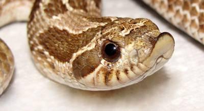 Змея Свиноносый уж