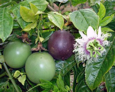 Passiflora edulis.jpg