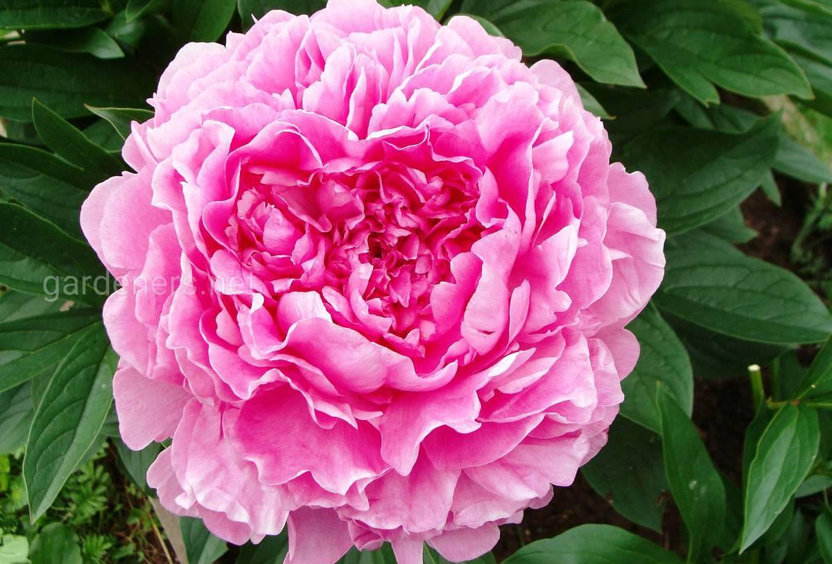 Сорт пиона Vivid Rose