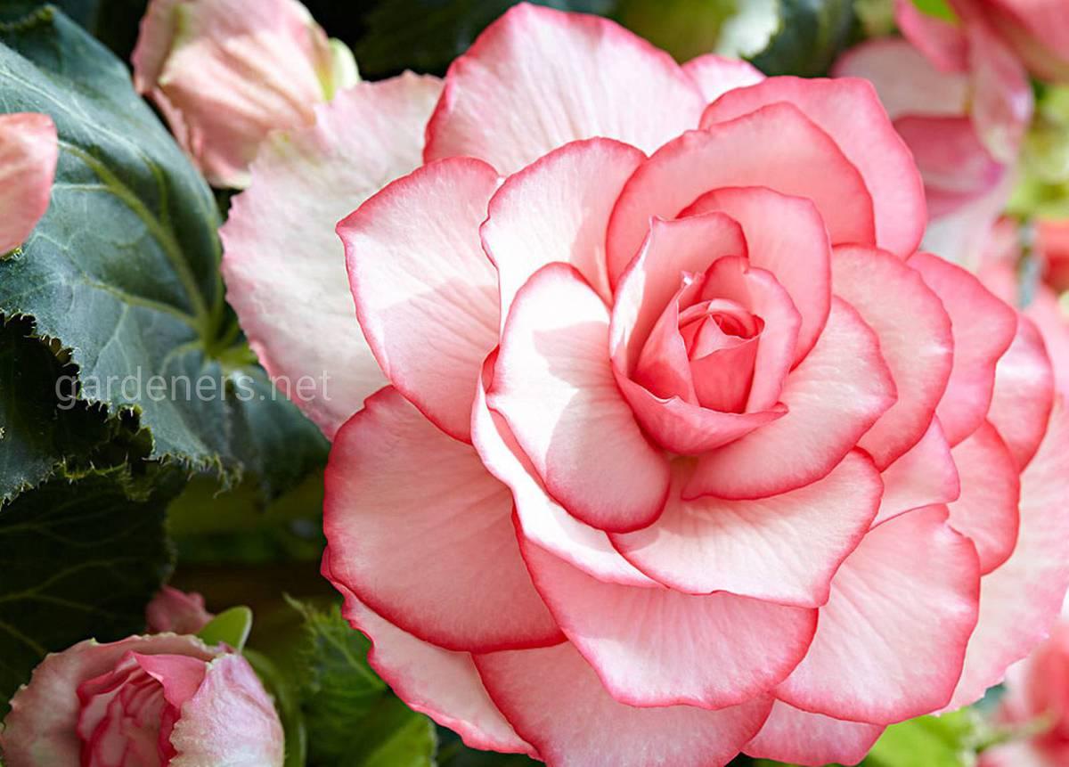 Бегония Bouton de Rose