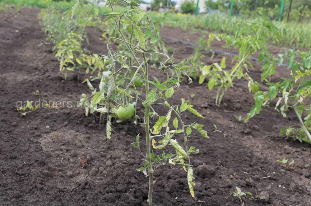 Как высаживать переросшую рассаду томатов
